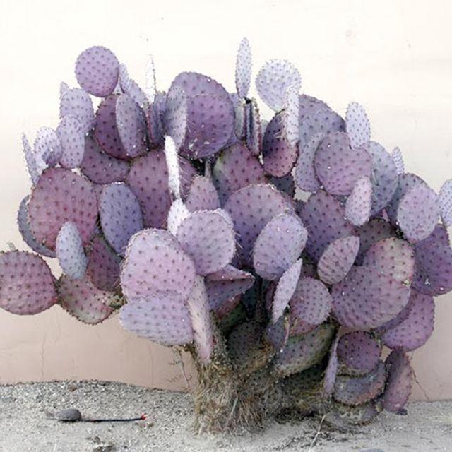 image: purple cactus by arroyo
