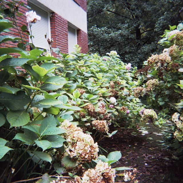 image: Hydrangeas in a backyard by rusy