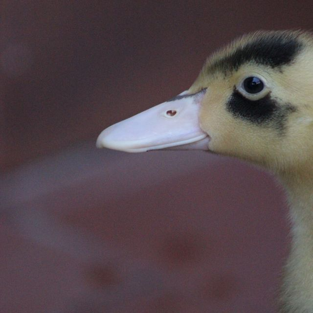image: Duck by anaelisa