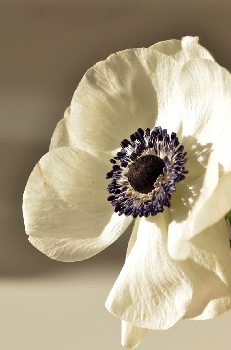 image: anemona by eastofeden