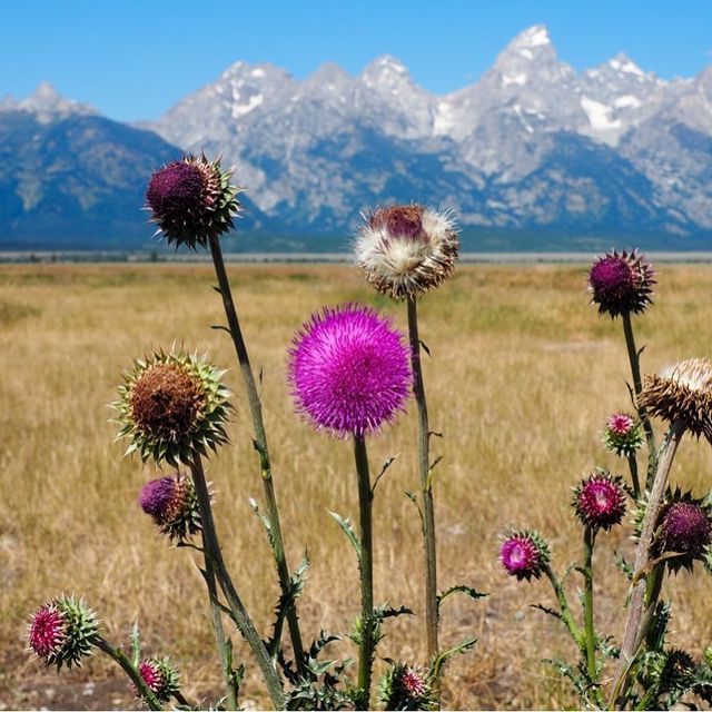 image: You should always take time to stop and smell the roses... or in this case the pretty mountain thistles! I loved spotting these blooming all throughout Grand Teton National Park. by dangerousbiz