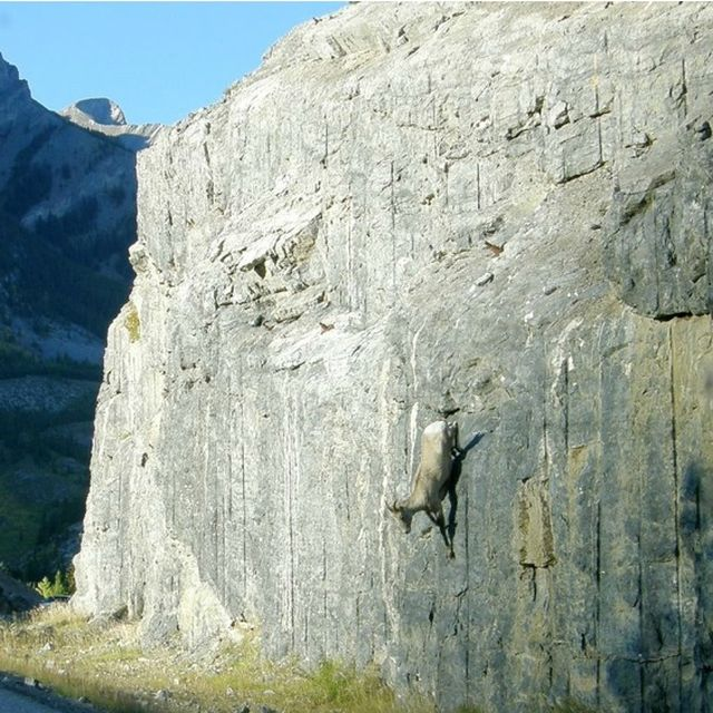 image: CRAZY GOATS IN CLIFFS by mave