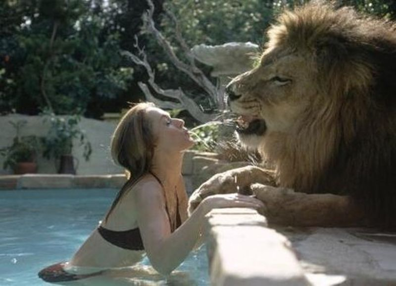 image: Animal Love-Lion by don-wild