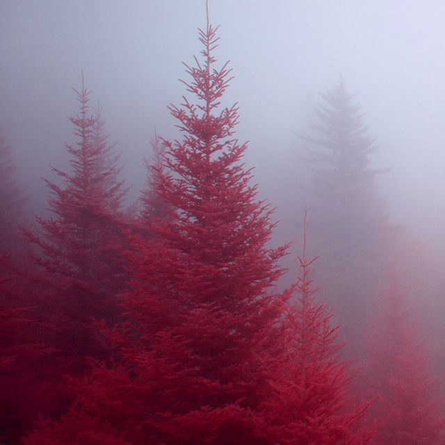 image: Pretty pines by laudo