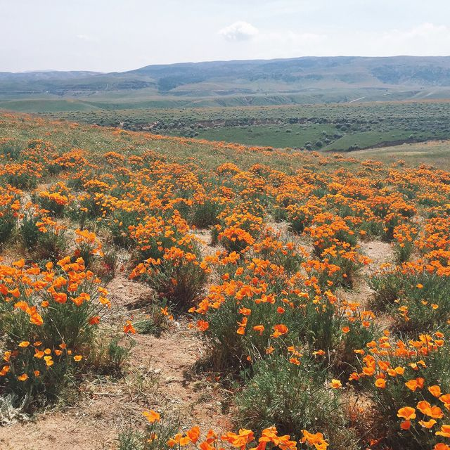 image: California Poppies by drumandlace