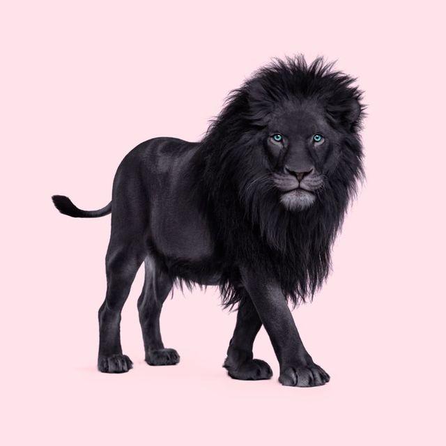 image: Black Lion 🦁 🖤 •••#blacklion #black #instaanimal #spiritanimal #leon #pastellove #blackpanther #photoshop #paulfuentes by paulfuentes_design