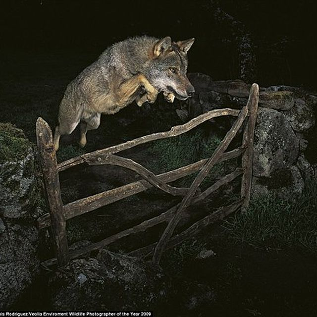 image: Wolf Jumping by don-wild