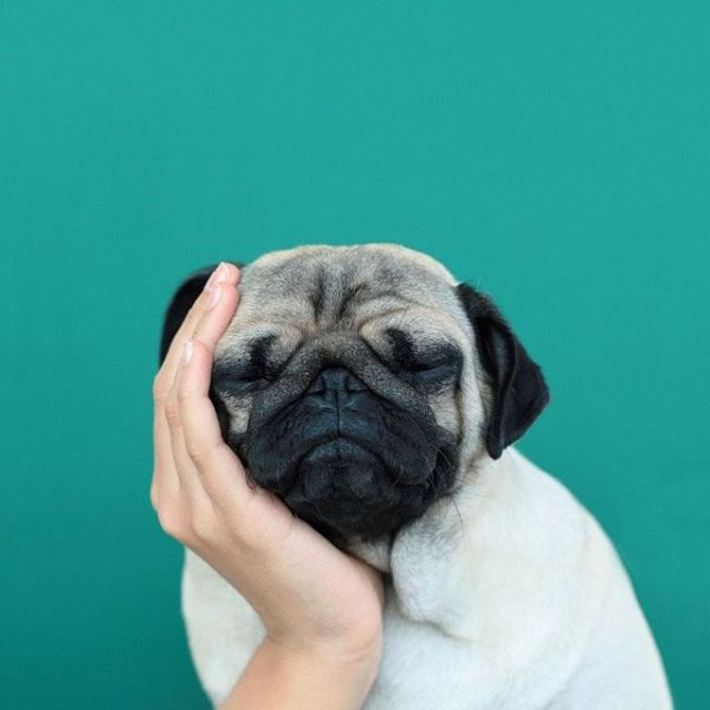 image: Loulou the Little Pug by woodenlime
