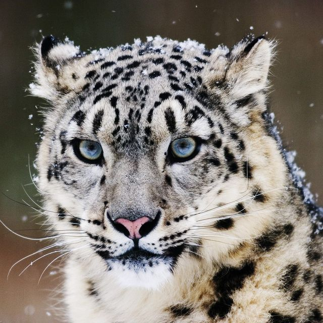 image: Snow Leopard Conservation by magicberrys