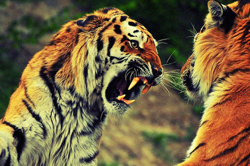 image: BENGALA TIGER by juansh