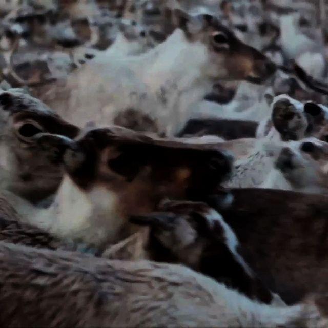video: Walking with Reindeer by cornelius