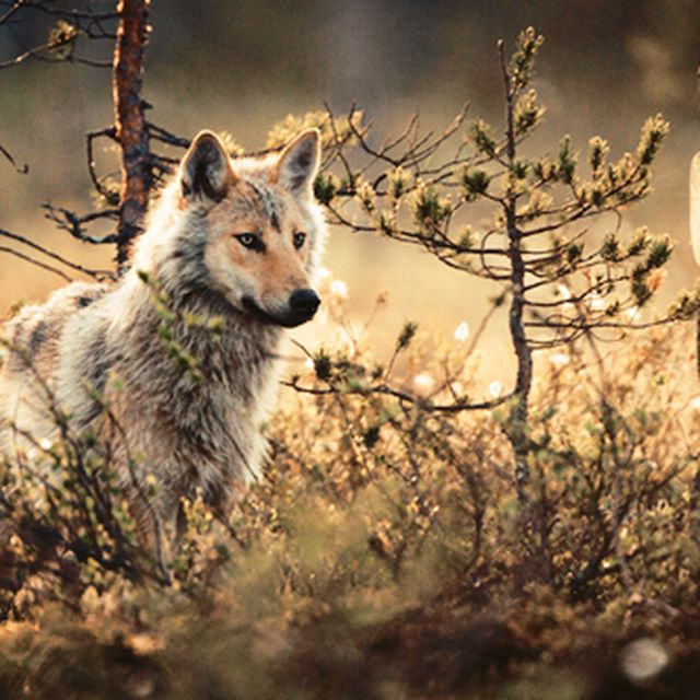 image: WOLF by mrs-boutique