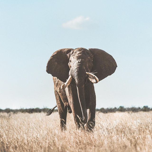 image: Stoic II.With silent brisk and towering finesse, He glides across the savannah. This is Wide Satao. A relic, a Big Tusker. Representing a rare collection of elephants protected by dedicated individuals at @tsavotrust and the @action4ifaw tenBoma... by donalboyd