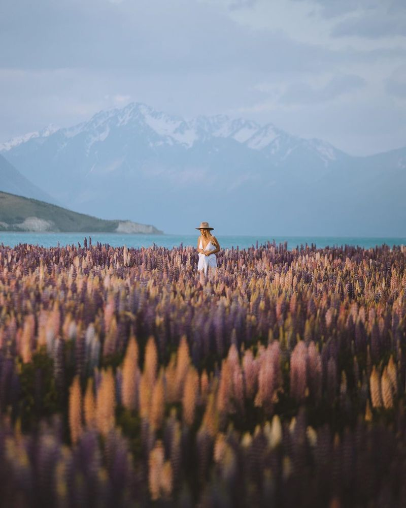 image: Beautiful season to spend in New Zealand. Curiously during my trip I spotted @joellefriend walking around this field of lupine flowers. Thousands of lupins cover the landscape with purple, pink, yellow and blue. by Ventura_Sales