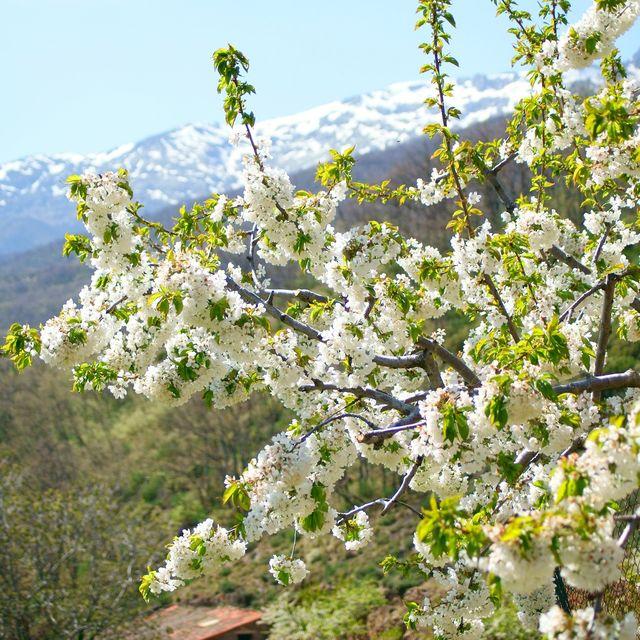 image: Cerezos en flor!! by catiasilva
