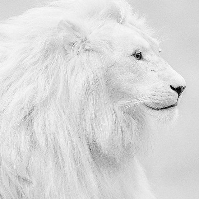 image: WHITE LION by karmensia