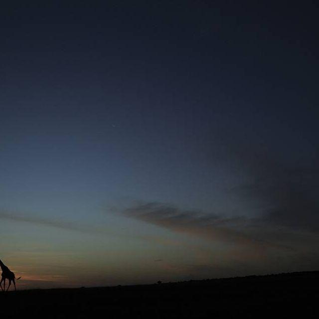 image: Giraffe by bea88