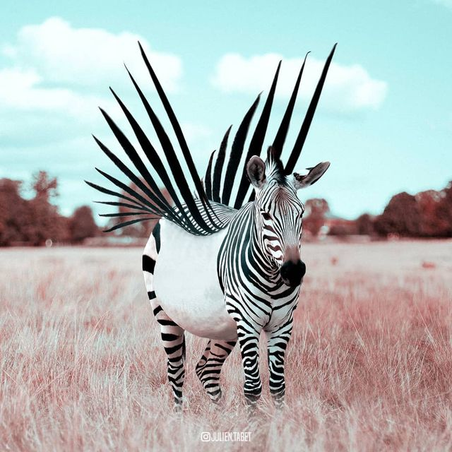 image: Zebra...Op by julientabet