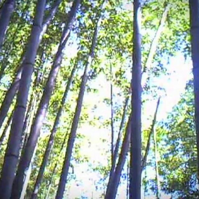 video: BAMBOO FOREST by paubacardit