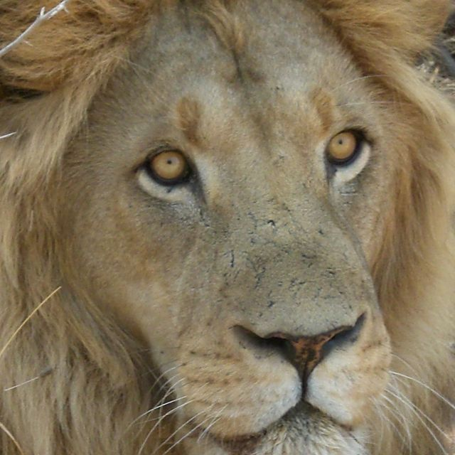 image: The look of Lion by koki