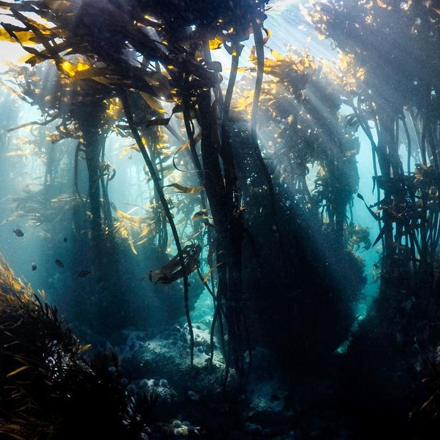 image: When the light cuts through the kelp forests, it makes for a pretty incredible scene.?...#gopro #wohza #capturedifferent by fainepearl