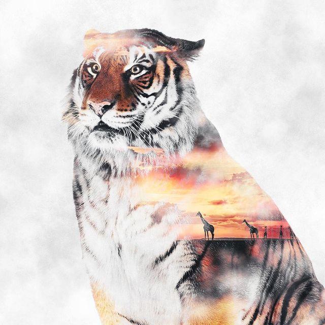 image: ✖️Tigre Sunsety Safari✖️~ ??? ~ Nouvelle double exposition animal thème safari ? Bonne soirée !My hashtag => #ciscograph by ciscographie