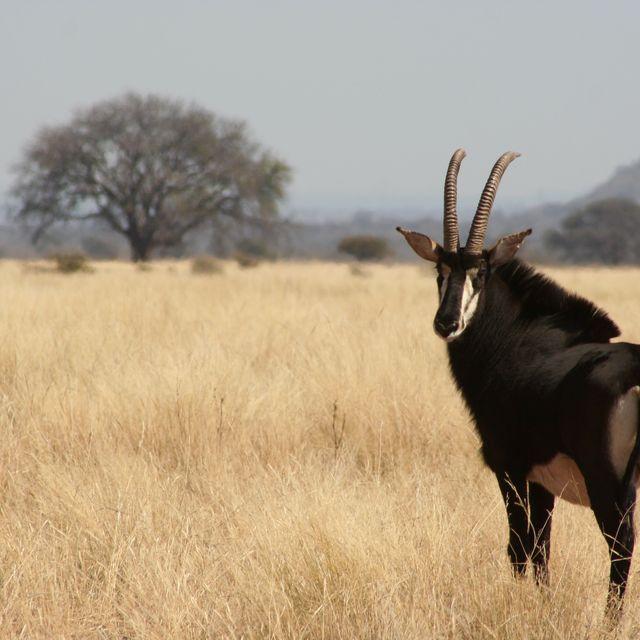 image: The Sable, The Black Antelope. by koki