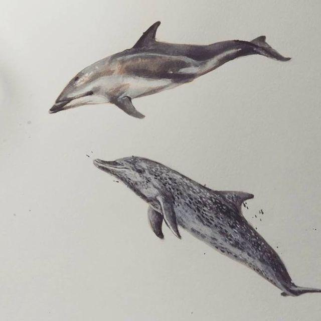 image: Delfín listado y Delfín moteado juntos en mi libreta ? A ver hasta dónde llego con la colección de cetáceos ? #inktober #dolphin #love #sealife #wild #freethedolphins #dive #sea #ink #parker #painting #animal #illustration #watercolor #delfin #ilustracion by elisaancori