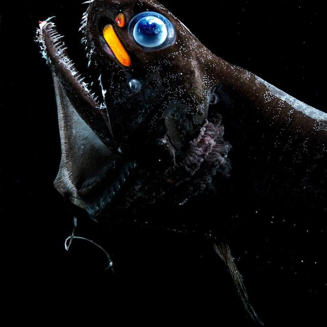image: Edith Widder - Dragonfish/Malacosteus Niger (photography) [The dragonfish has three separate light organs beneath each eye. Two of them shine red lights, like night scopes, which help it sneak up on prey that see only blue lights.] #edithwidder by durmoosh