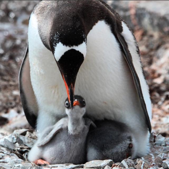 image: Gentoo Penguin by marcosvandulken