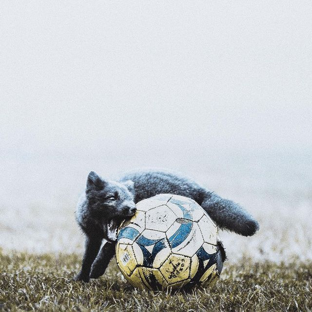 image: Never ever saw a fox play football before. He was pretty darn good as a midfielder. by donalboyd