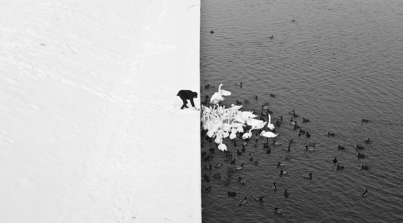 image: Man and swans by diegotoast