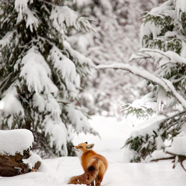 image: FOX by letiode