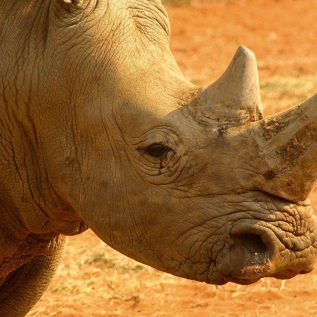 image: The white Rhino by koki