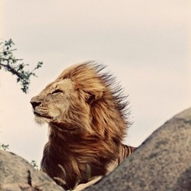 image: The king-Lion by juansh
