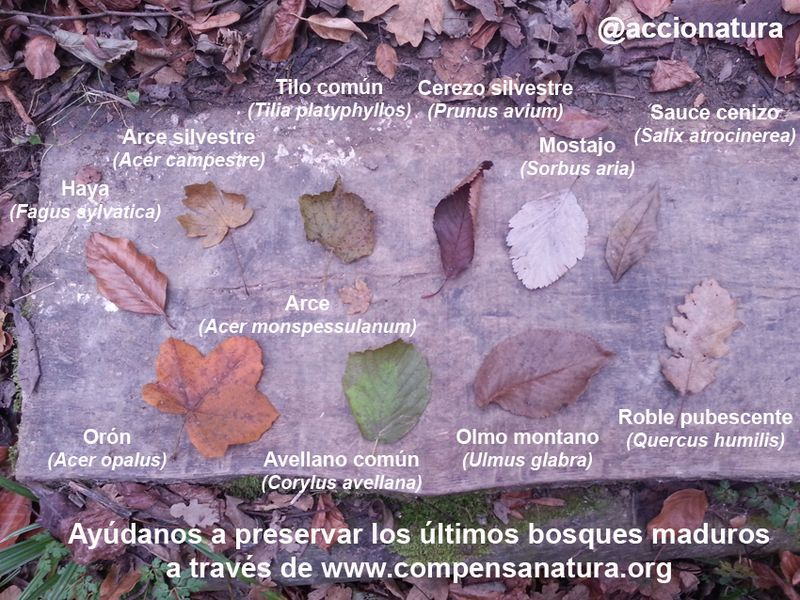 image: CompensaNatura - hojas árboles bosque maduro by accionatura