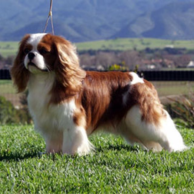 image: Cavalier King Charles Spaniel by Luli