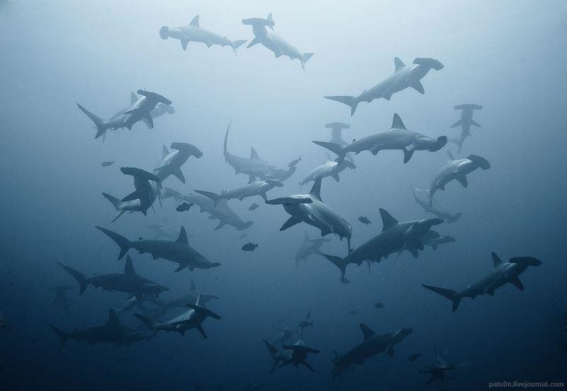 "image: Sharks Photo ""swarming"" by Alexander Safonov by juansh"