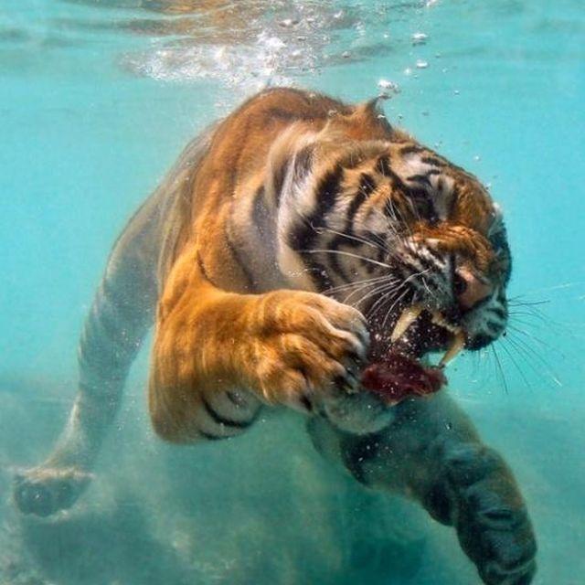 image: underwater tiger by patrick