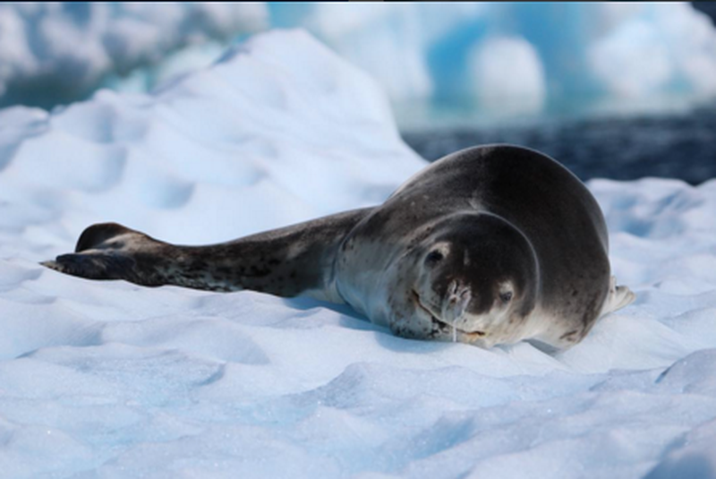image: Leopard seal by marcosvandulken