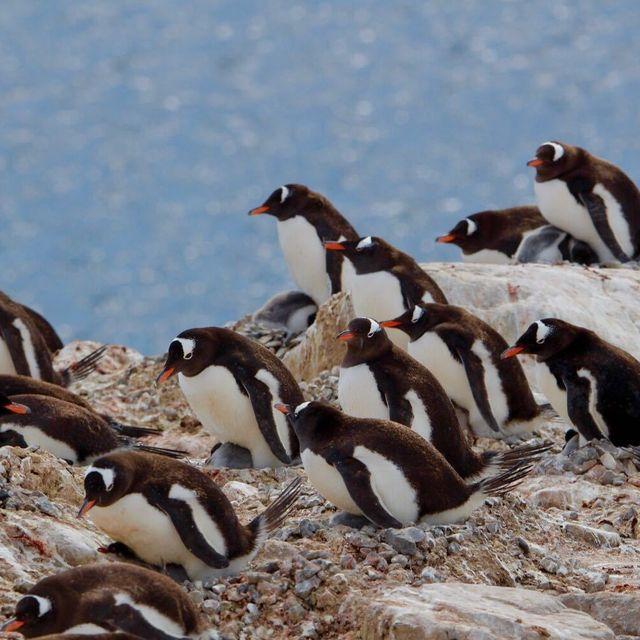 image: Gentoo Penguins by marcosvandulken