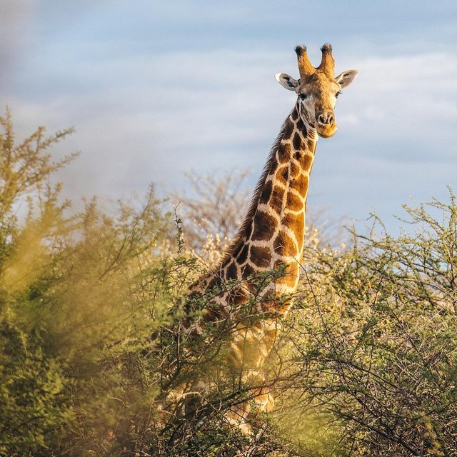 image: Adult giraffes by lebackpacker