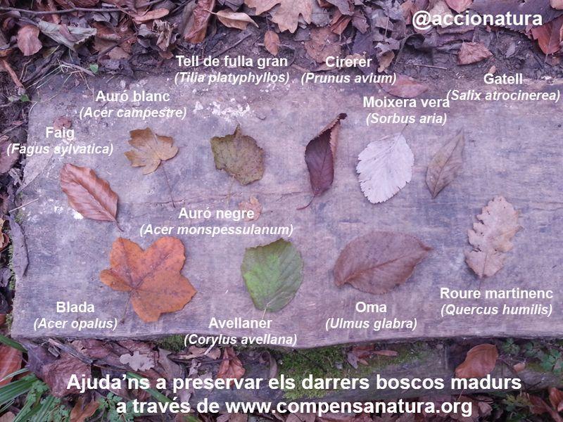 image: CompensaNatura - fulles arbres bosc madur by accionatura
