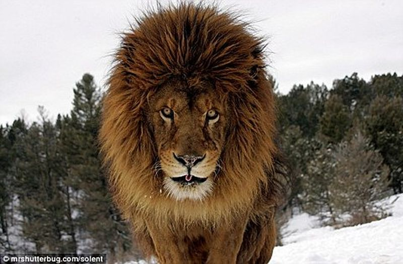 image: Lion in the snowy montain -Samy Animal by don-wild